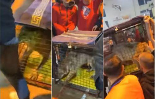 Događaj koji je šokirao Ulcinj: Vuka u kavezu doneli na fudbalsku utakmicu (VIDEO)