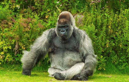 Grom u Ugandi ubio četiri gorile iz ugrožene vrste