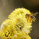 """Novi """"test"""" na koronavirus: PČELE mogu da otkriju zaražene, njihov metod ŠOKIRAO sve"""