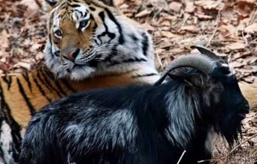 Istinita priča iz ruskog zoo-vrta istopiće vaša srca! (FOTO+VIDEO)