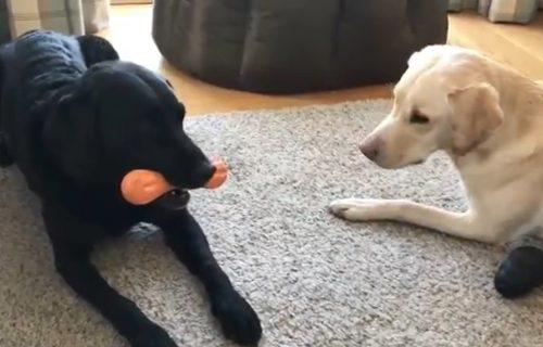 Dva labradora postala hit u vreme korone, potez njihovog vlasnika nasmejao je svet (VIDEO)
