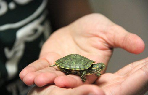 SIMBOL ZAŠTITE: Zašto je kornjača idealan kućni ljubimac?