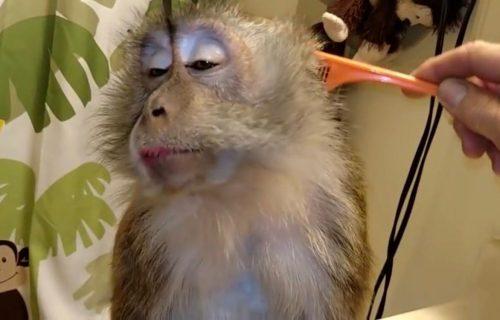 DNEVNA RUTINA: Majmunica koja obožava da se češlja će vam ulepšati dan! (VIDEO)