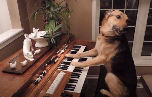 NEODOLJIVO: Ovi psi sami rade vežbe, sviraju klavir i donose pivo! (VIDEO)