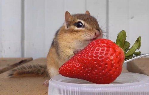 ZALJUBIĆETE SE: Preslatka beba veverica u borbi sa jagodom (VIDEO)