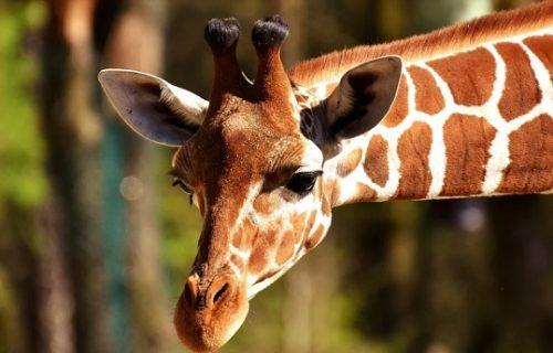 Rođena žirafa: Veselje u Zoo vrtu, kumovi joj dali najomraženije ime na svetu (FOTO)