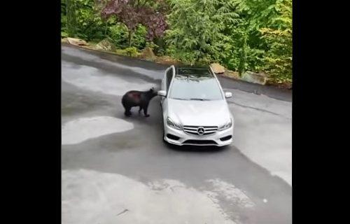 I to se događa: Medved pokušao da ukrade Mercedes (VIDEO)