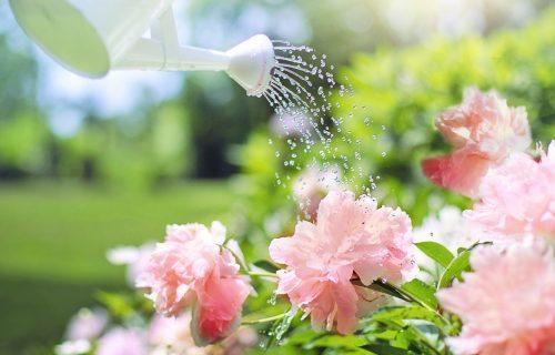 Najlepši letnji cvet: Sledite ovih 6 pravila da bi vam BOŽUR uspeo i DUŽE trajao
