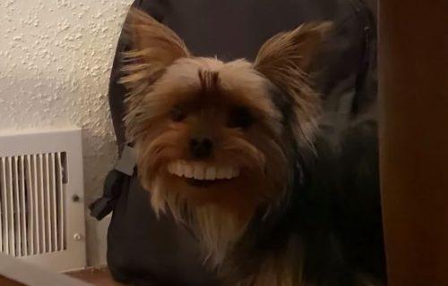 On je tako mali, a zubi su tako veliki! Smešnijeg terijera sigurno niste videli (VIDEO)
