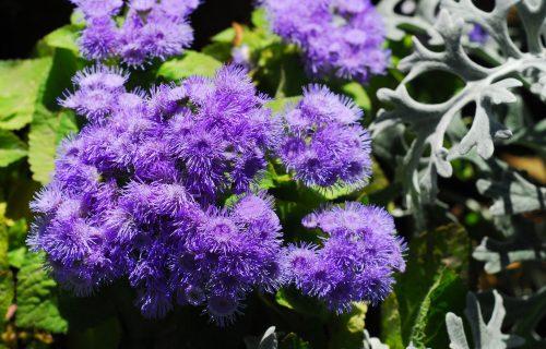 VEČNA MLADOST u vašoj bašti: AGERATUM cveta od maja, pa sve do početka zime