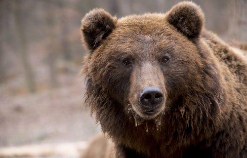 """Pojurio je i skočio na mene"": Medved napao muškarca u centru grada, pukom srećom ostao ŽIV"