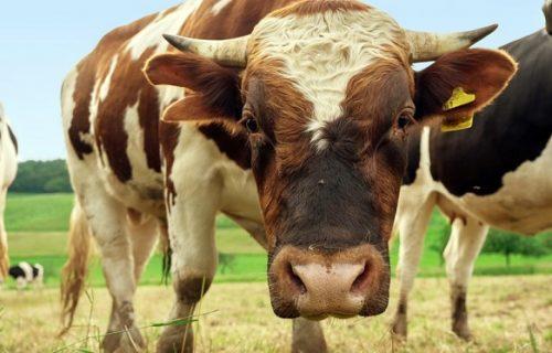 Svrbela ga leđa: Razjareni bik upao na imanje, 3 sela ostala bez struje (FOTO)