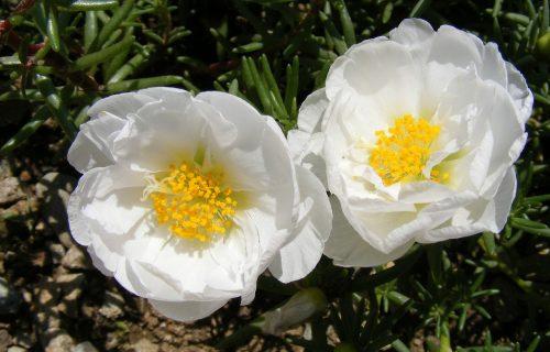 Cveće koje se najviše isplati zasaditi: Neuništivi i šareni prkos