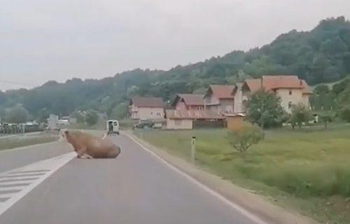 Hit snimak iz BiH: Krava ispala iz kombija, vozač nastavio dalje kao da se ništa nije desilo (VIDEO)