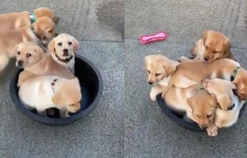 Presladak prizor: KOLIKO štenaca može da stane u samo jedan LAVOR? (VIDEO)