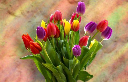 Šareni simbol proleća: LALE su omiljeno cveće mnogih, a nekada su ljudi prodavali KUĆE da bi ih kupili
