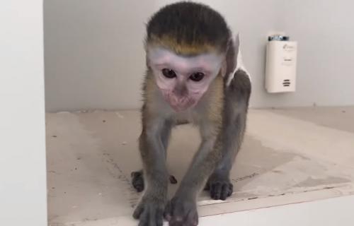 Majmun kao kućni ljubimac: Mouđou je nova zvezda interneta (VIDEO)