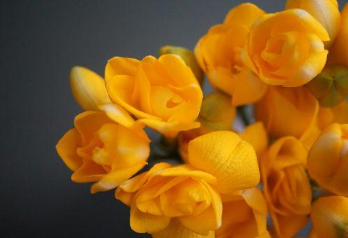 Intenzivan miris, prelepa boja cvetova i posebno značenje: Kako uzgajati FREZIJE?
