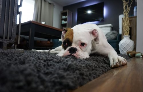 10 NAJSKUPLJIH rasa pasa na svetu: Od nekih cena ZABOLEĆE VAS GLAVA