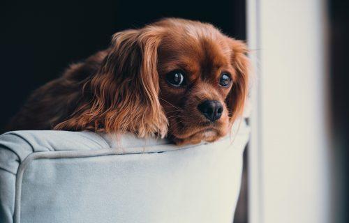 Ne vole samoću: Koliko DUGO psi podnose da budu SAMI kod kuće?