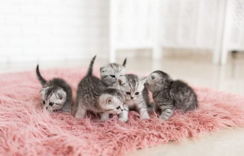 Tajni jezik ljubimaca: Šta rep vaše mačke govori o njenom raspoloženju? (FOTO)