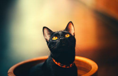 Mali crni PANTERI: 7 najzanimljivih činjenica o BOMBAJ mačkama