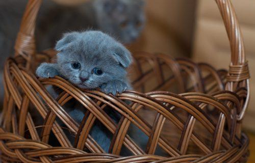 Mačak dvobojnog lica je postao OTAC! Šta mislite, kako izgledaju MAČIĆI? (FOTO)