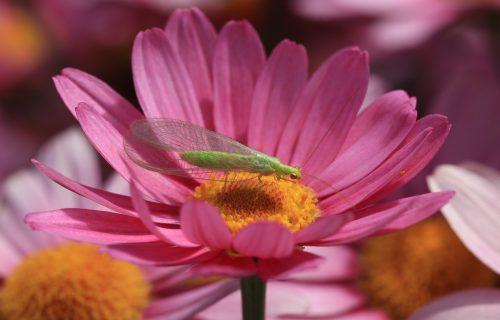 Bolje od pesticida: Ove biljke TERAJU INSEKTE kao od šale!