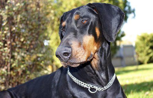 Želite psa ČUVARA? Predstavljamo vam 4 rase koje će NAJBOLJE obavljati ovaj posao (FOTO)