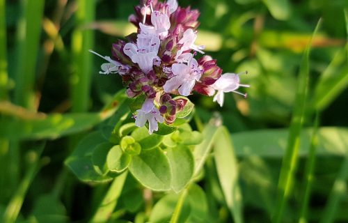 Stari Grci su za ovu biljku govorili da je PROTIVOTROV: Kako da uzgajate ORIGANO u vašoj bašti?