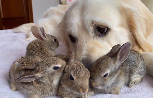 Zlatni retriver brine o bebama zečevima i oni sada misle da im je on MAMA (VIDEO)