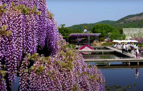 VRT ili čista UMETNOST? Ašikaga - putovanje u cvetni raj! (FOTO+VIDEO)