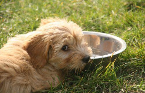 Vaš ljubimac NE PIJE vodu? Ovo su najčešći razlozi za dehidraciju pasa!