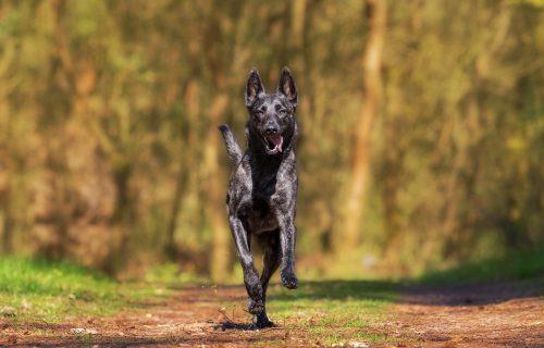 Kada je pas srećan? Protumačite kako se vaš ljubimac oseća na osnovu POLOŽAJA njegovog REPA