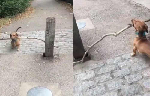 Simpatični pas je hteo da prođe sa velikim ŠTAPOM između dva stuba, a evo kako se snašao! (VIDEO)