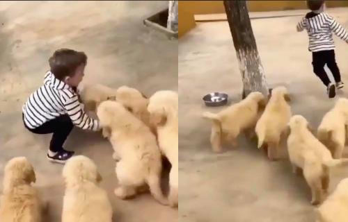 Najveća radost na svetu: Ko pobeđuje u neumornoj igri, preslatki trapavi dečak ili 6 štenaca? (VIDEO)
