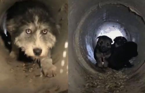 Srpska keruša oduševila SVET: Hrabra mama PREKLINJE ljude da spasu njenu štenad (VIDEO)