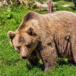 HOROR u Americi: Medved pojeo ženu dok se šetala, psi su pronašli zver i njene mladunce