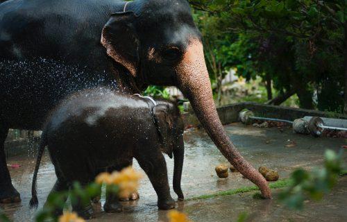 Ne može da dočeka: Preslatkom slončetu se baš žuri da otera vrućinu (VIDEO)