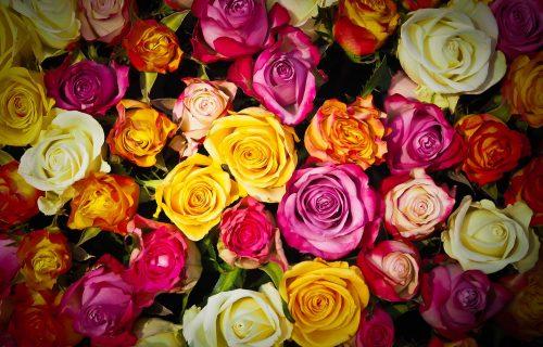 Najveća sujeverja o ružama: Zašto se BELE sade na groblju, a kakve NIKADA ne smete da poklanjate?