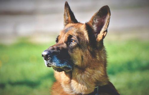 Tek što je stigao pokazao je šta ZNA: Komšije dobile psa koji otkriva pozitivne na KORONU