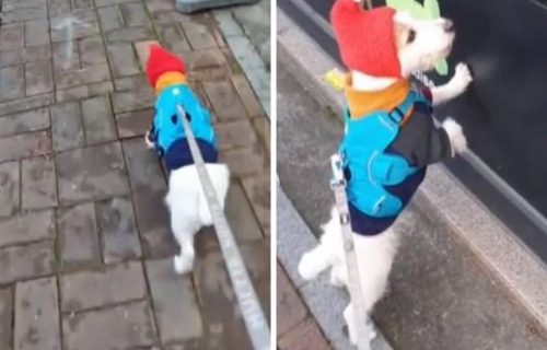 Kao i svaki pas, tako i ONA voli u šetnju, ali... razlog zbog kojeg strpljivo čeka je POSEBAN (VIDEO)