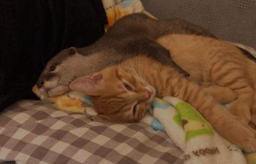 Jedno bez drugog NE MOGU: Mačka i VIDRA spavaju isključivo zajedno (VIDEO)
