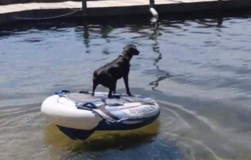 Genijalno! Labrador pomislio da se njegov gazda DAVI, pa pokušao da ga spase na URNEBESAN način (VIDEO)