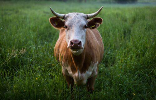 Prva krava plaćena bitkoinima prodata u Crnoj Gori! Pući ćete od smeha kad vidite kako su je nazvali