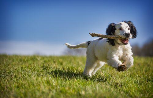 Da pukneš od smeha: Pa zar mora baš tolika? Ni manjeg psa, ni veće grane (VIDEO)