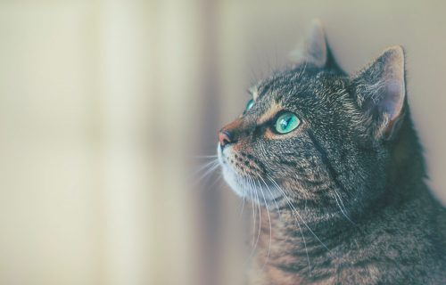 Kućna mačka se zarazila koronom, evo kako je dobila virus, a jedna stvar je posebno važna!