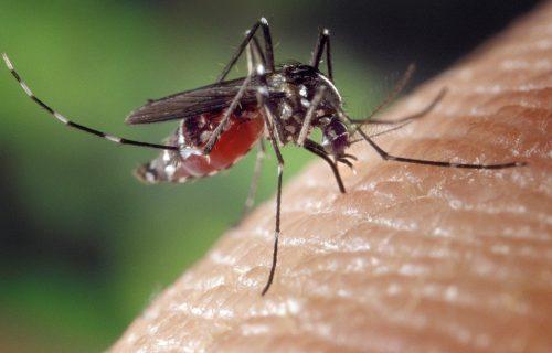 Kod komaraca u Beogradu nije izolovan virus Zapadnog Nila