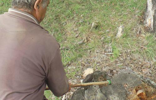 Magični lek od smole bora: Crno zlato peče se još samo na padinama Zlatibora (FOTO+VIDEO)