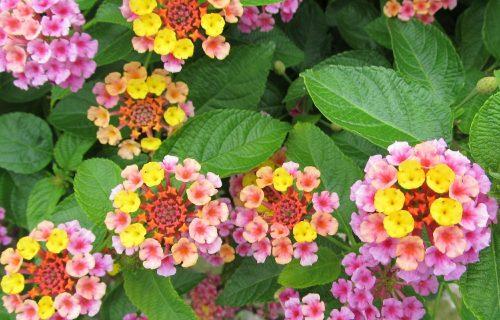 Raskošna lantana: Šarena biljka prelepih cvetića u mnogo boja (FOTO+VIDEO)